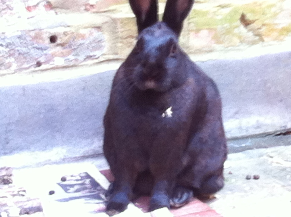 Picture of black rabbit called Expresso
