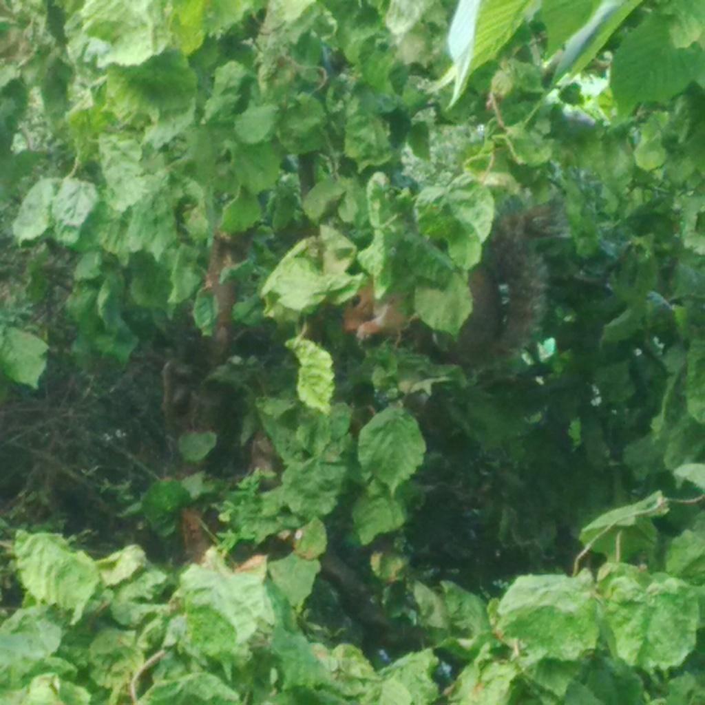 Squirrel in hazelnut tree
