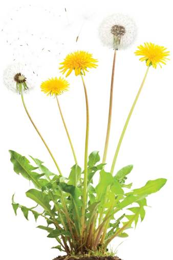 dandelion-plant