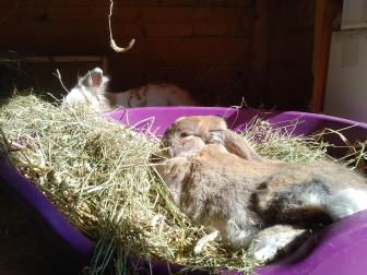 Haas the rabbit reclines in a hay filled dog basket in the foreground while Katrijn is just visible in the background. They are both enjoying the spring sunshine streaming in through the unseen door.