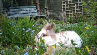 Katrijn the Lionhead rabbit reclines in a flower bed surrounded by forget-me-nots and dandelions in bloom. In the background a blue garden bench are visible as well as a trellis and plants.