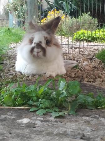 Katrijn the lionhead rabbit reclines in the garden