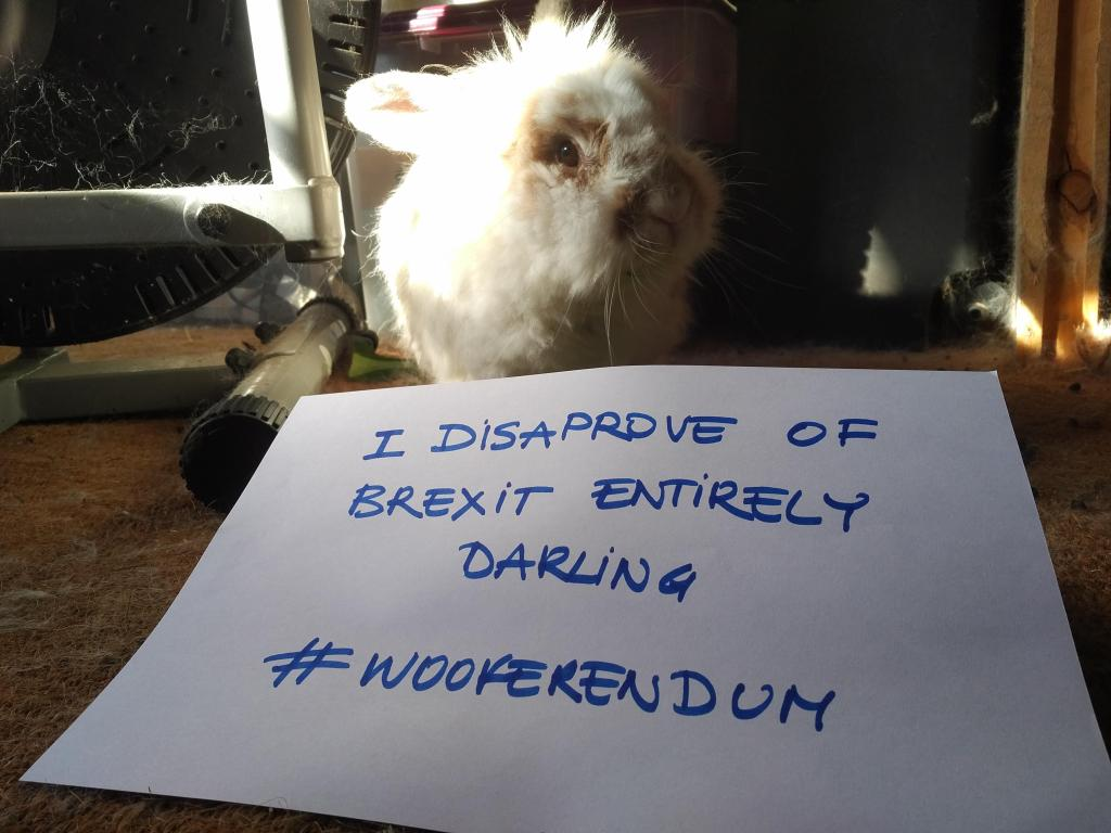 Katrijn the white lion head rabbit sits in her summerhouse where the sun hits her fluffy mane as she stares at the photographer. She has a piece of paper in front of her that reads, 'I disapprove of Brexit entirely darling. Wooferendum.'