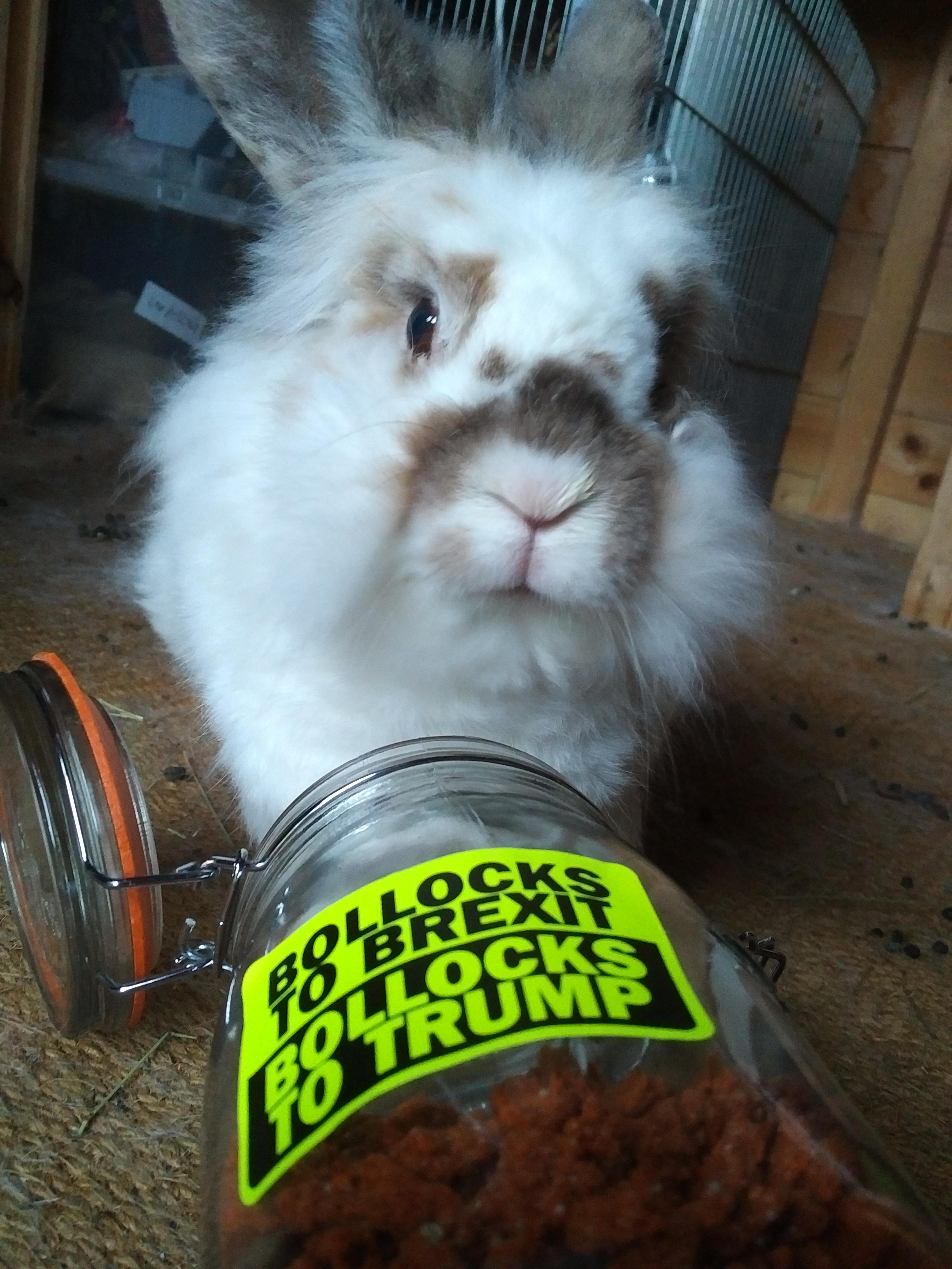 Katrijn the white lionhead rabbit sits behind her treat jar, which is lying on its side, lid opened, on the carpet in Katrijn's summer house. The jar has a neon yellow sticker with black letters reading 'Bollocks to Breit, Bollocks to Trump'
