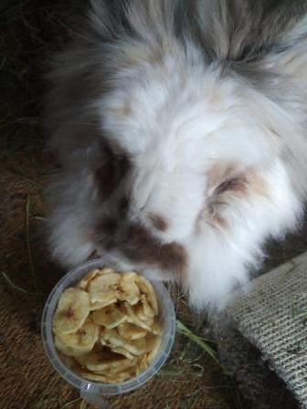 Katrijn the white lion head rabbit hovers over a tub of dried banana chips.