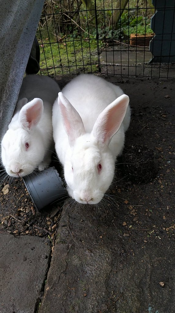 Obelix and Drusilla the white rabbits are stretching towards the camera from underneath their lean-to shelter outside their summer house. A grey plastic flower pot is in the way for Drusilla, on the left.