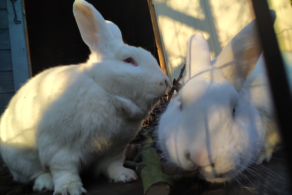 Obelix and Drusilla the white rabbits sit in the evening sun in the doorway of their summer house to chew on a branch from an apple tree. Drusilla is sitting side-on at the left and Obelix reaches towards the camera on the right.