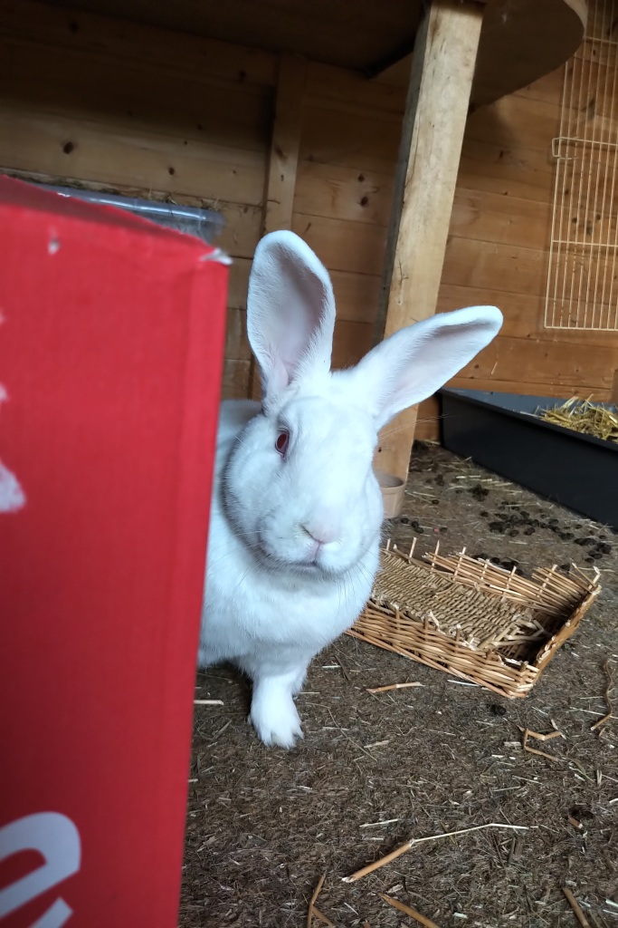 Obelix the white rabbit peeks around the corner of a red cardboard box, showing on the left of the image. Behind him on the floor are a chewed up willow basked, plenty of poos and his litter tray filled with straw.