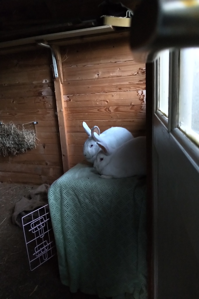 Obelix (front) and Drusilla sit close together on top of their pink metal carry cage, which is draped with a light green blanket. They are inside their summer house and on the floor is a piece of jute fabric and on the wall a hay rack.